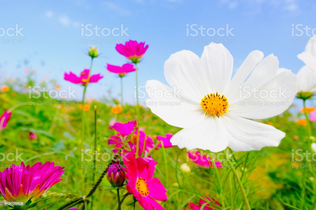 Pink cosmea flower under sunlight and blue sky stock photo