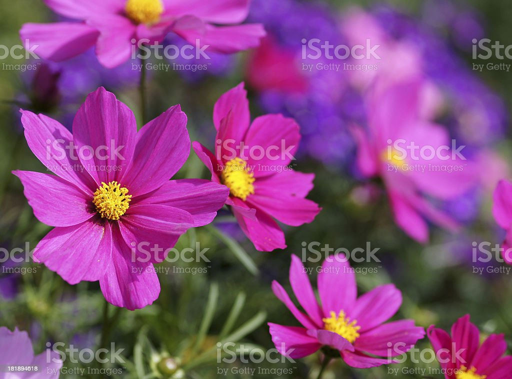 Pink cosmee flowers stock photo