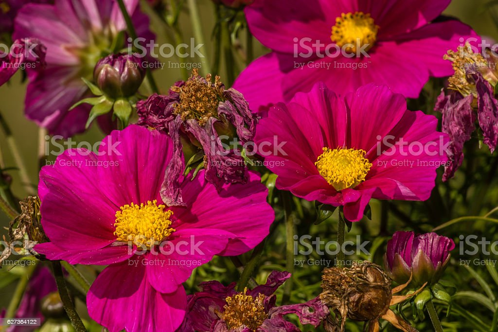 Pink cosmo flower stock photo