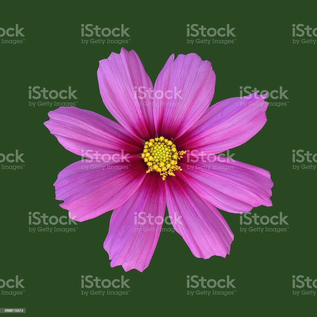 Pink cosmos bipinnatus against green stock photo