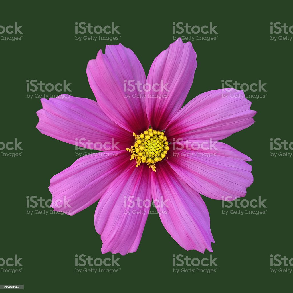 Pink cosmos bipinnatus flower stock photo