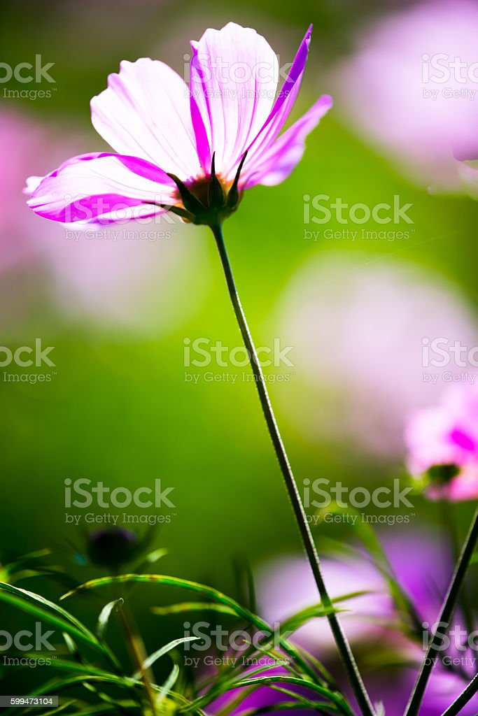 Pink Cosmos Bipinnatus Growing in a Meadow stock photo