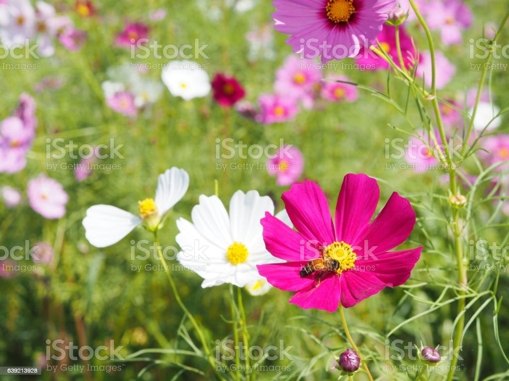 pink cosmos blooming with bee stock photo