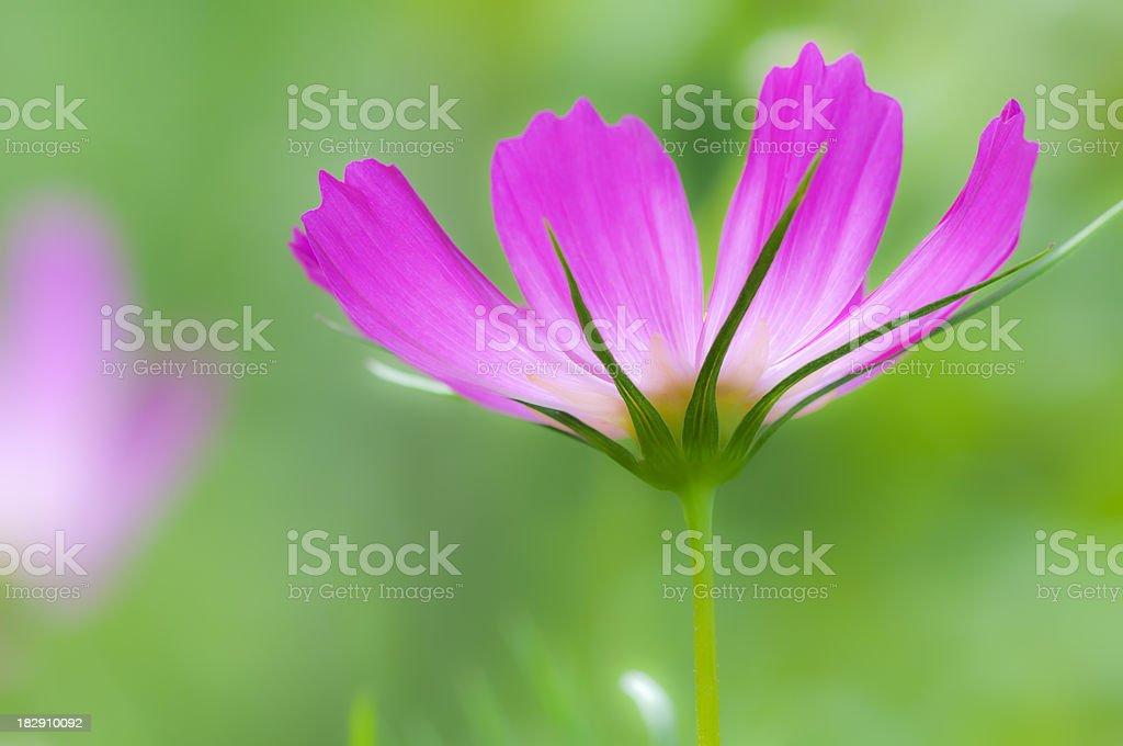 Pink Cosmos flower (softly processed) - III royalty-free stock photo
