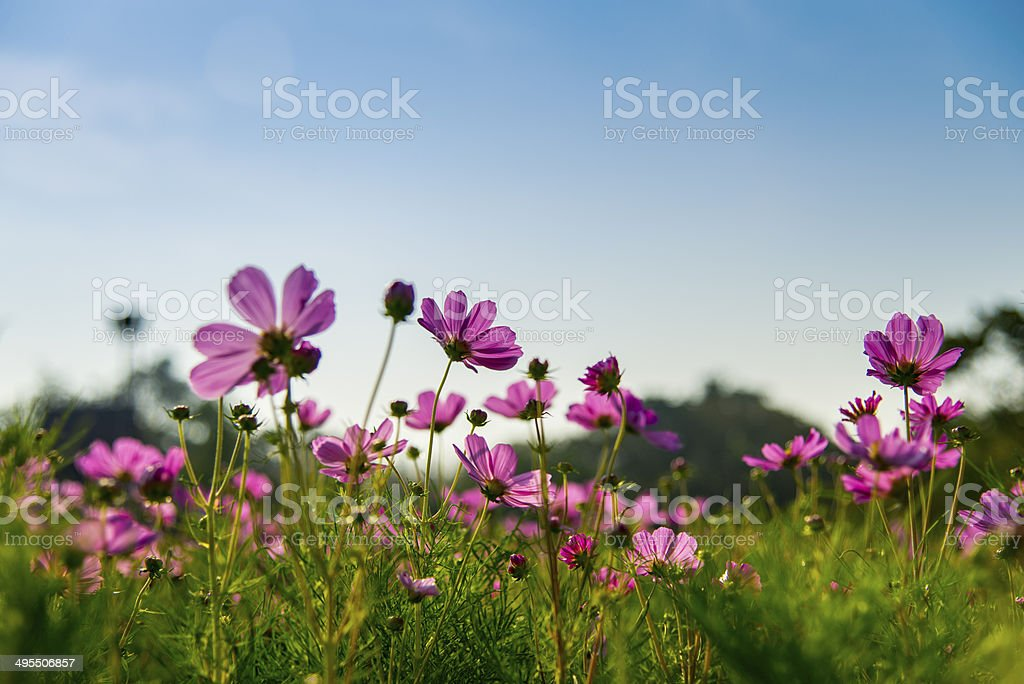 Pink cosmos flower in with blue sky6 stock photo
