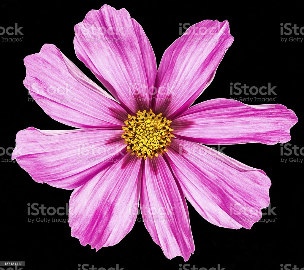 Pink Cosmos flower on black royalty-free stock photo
