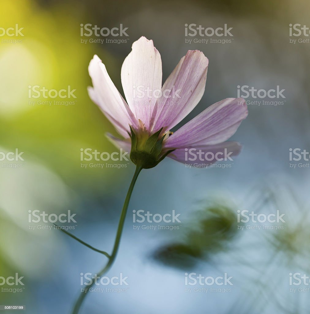 Pink Cosmos Flower royalty-free stock photo
