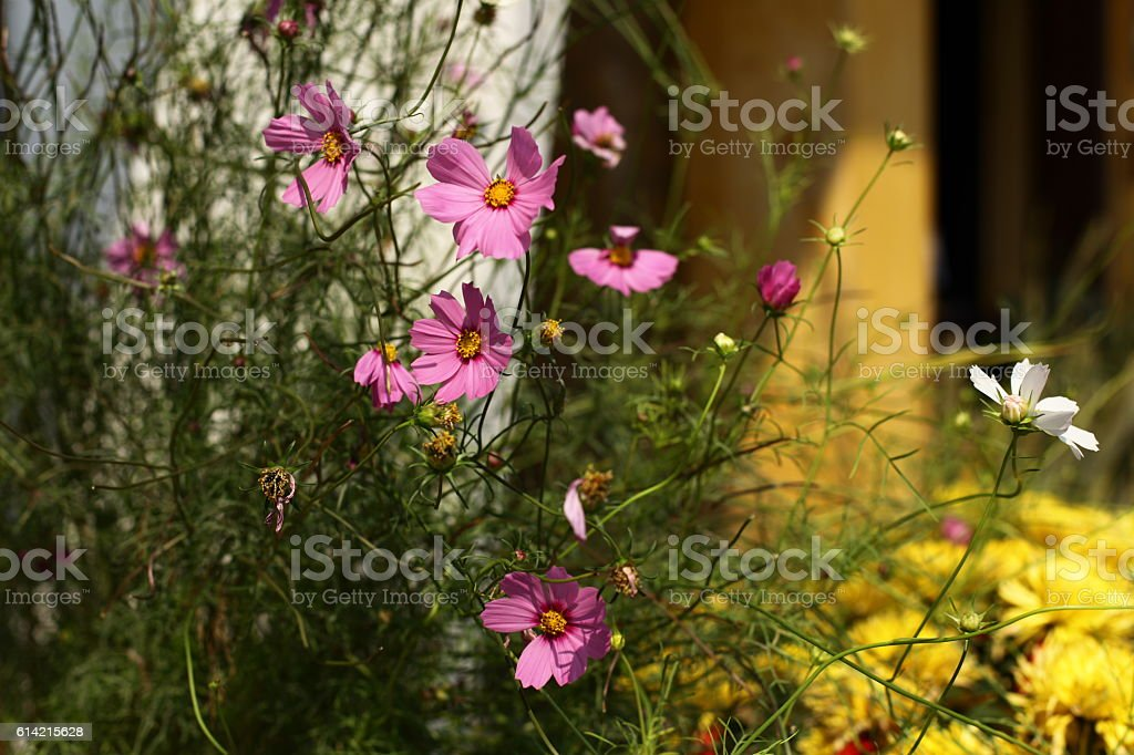 Pink Cosmos Flowers at sunrise stock photo