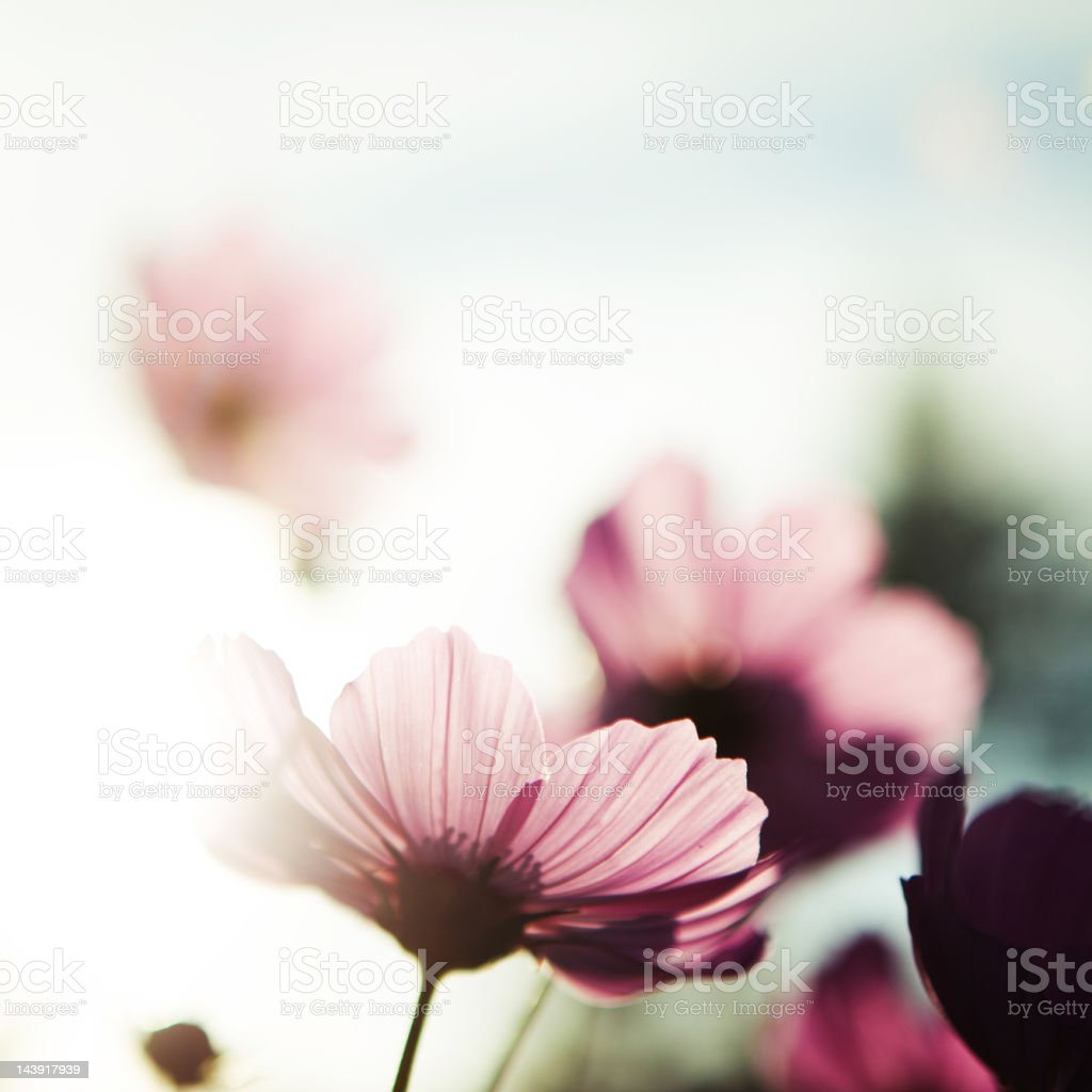 Pink cosmos flowers blooming in summertime stock photo