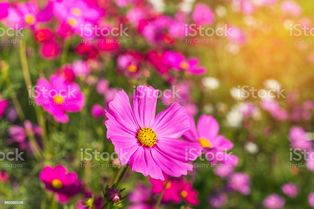 pink cosmos flowers blooming in the field stock photo