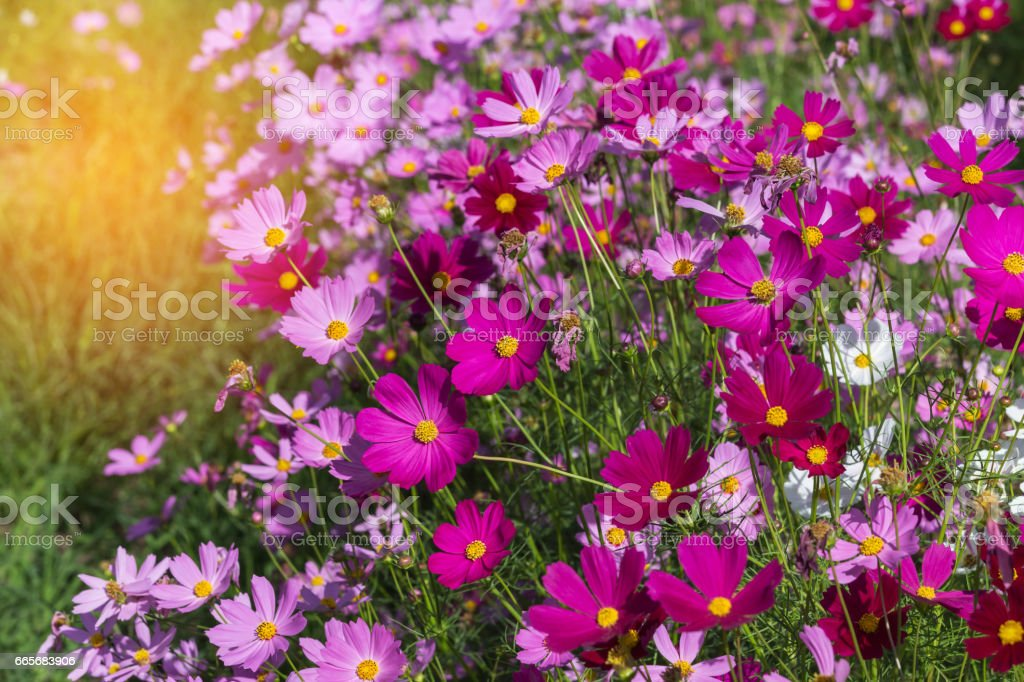 pink cosmos flowers blooming stock photo