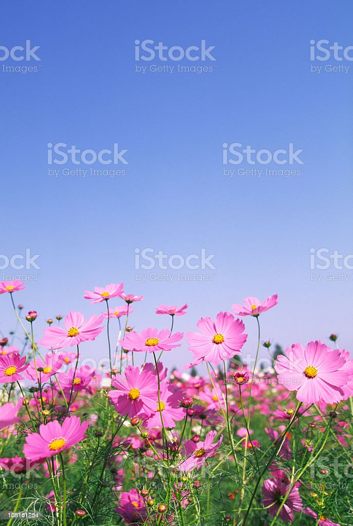 Pink Cosmos Flowers in Field Against Blue Sky royalty-free stock photo