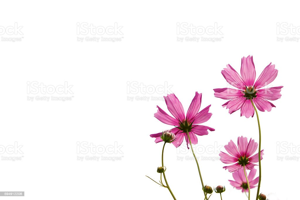 Pink cosmos flowers isolate on white. stock photo