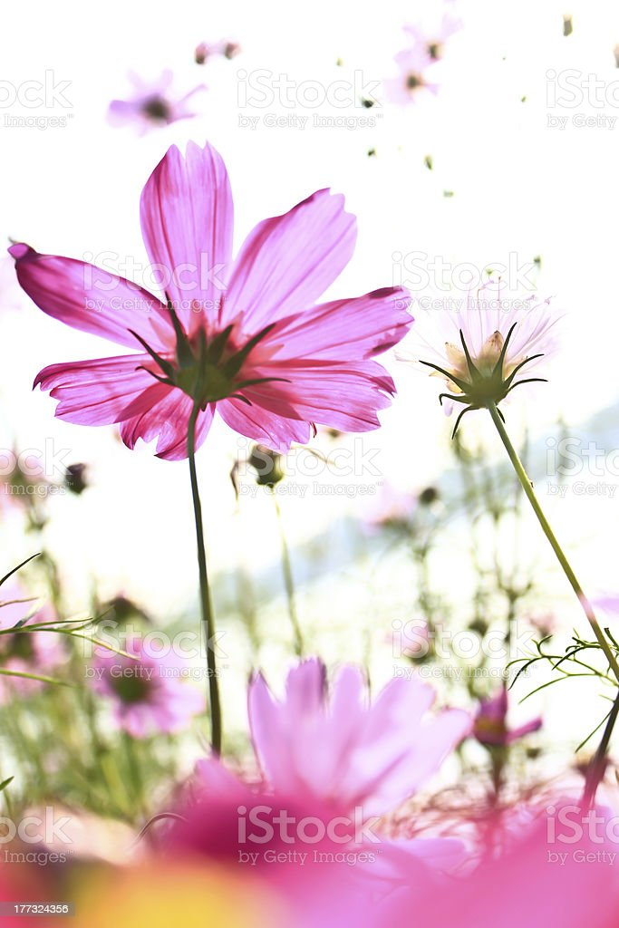 Pink Cosmos Flowers on White Background royalty-free stock photo