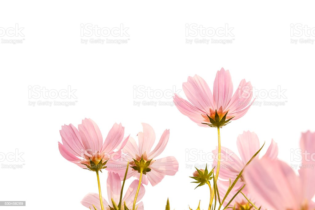 pink cosmos flowers on white background stock photo