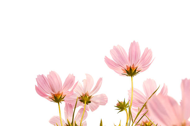 Summer flowers on a white background pictures images and stock pink cosmos flowers on white background stock photo mightylinksfo