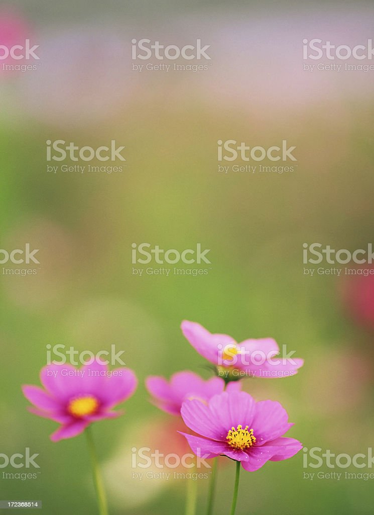 Pink Cosmos Flowers royalty-free stock photo