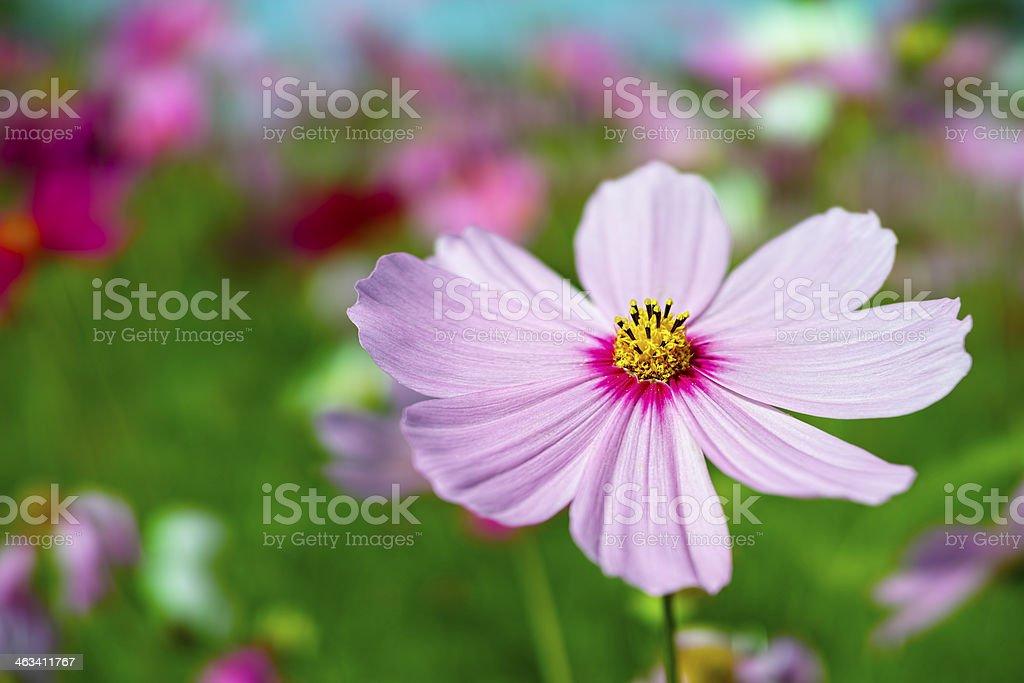 Pink Cosmos flowers. stock photo