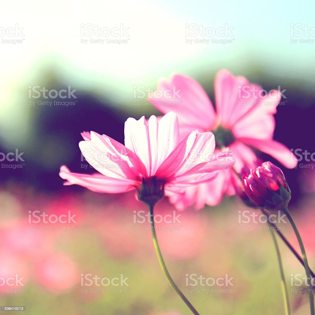 Pink cosmos flowers with retro filter effect stock photo