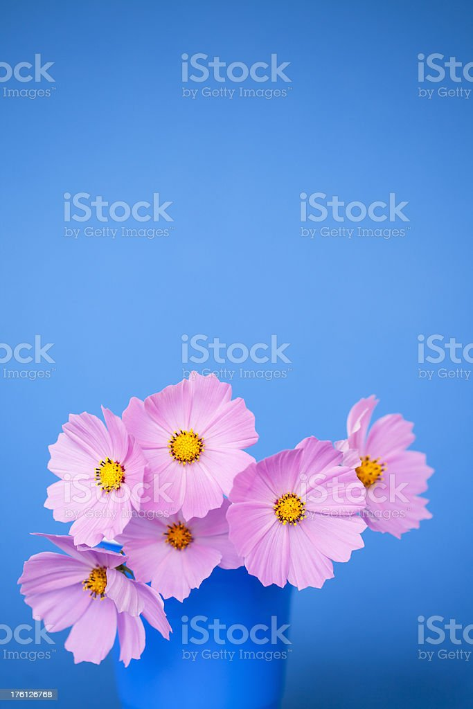 Pink cosmos on blue with copyspace royalty-free stock photo