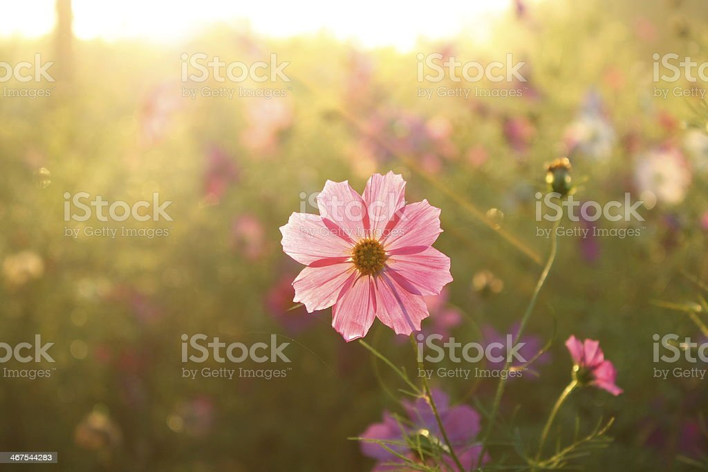 Pink Cosmos stock photo