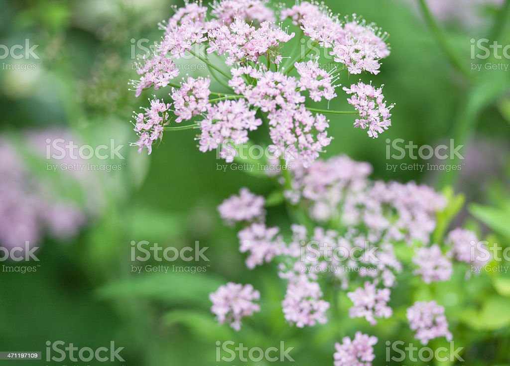 Pink Cow Parsley stock photo