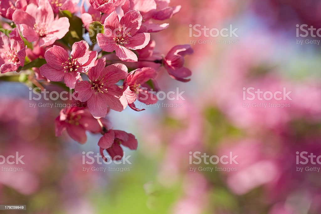 Pink crab apple tree blossoms on defocused background stock photo