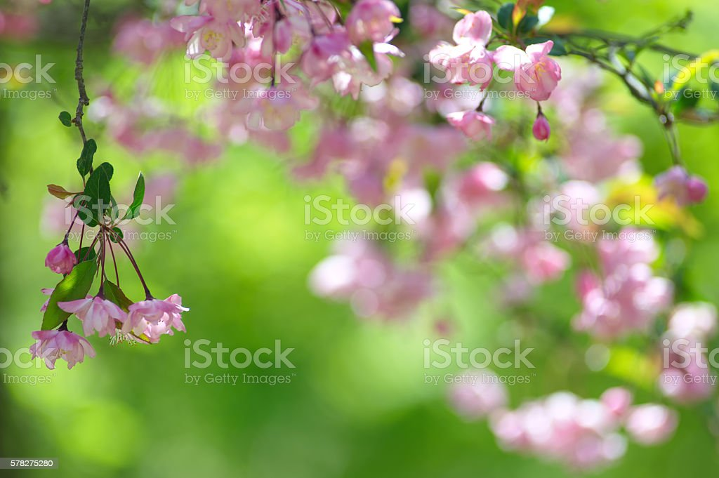 Pink Crabapple Flowers stock photo