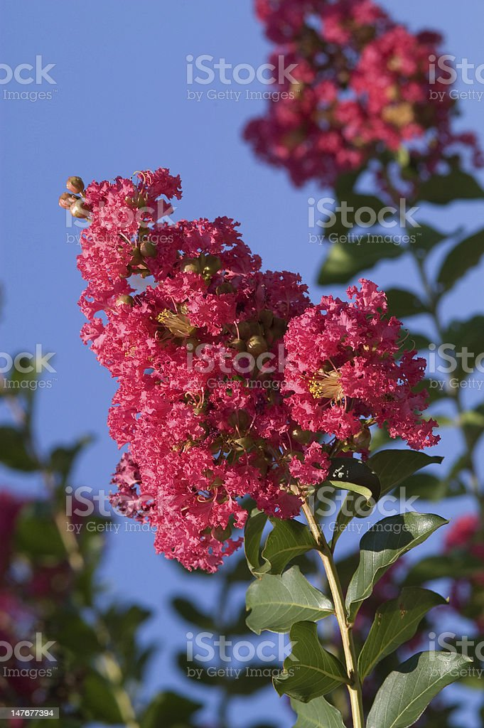 Pink Crape Myrtle Against Blue Sky stock photo