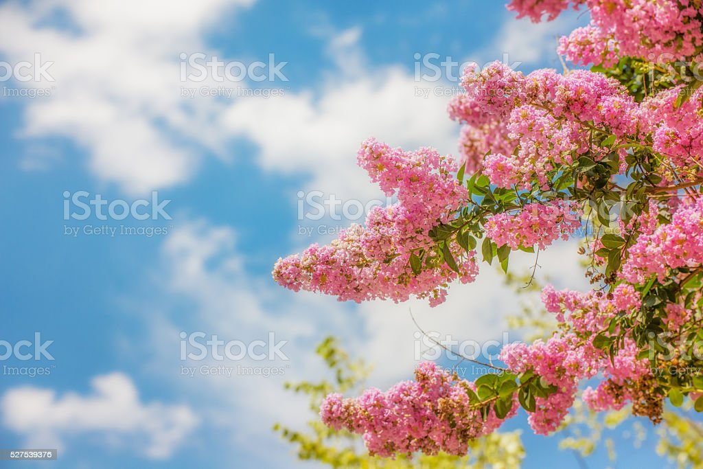 Pink Crepe Myrtle against a Blue Sky stock photo
