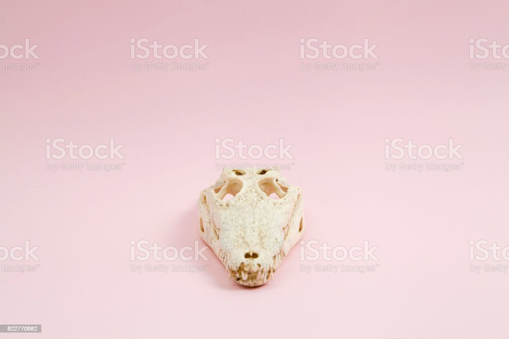 Pink crocodile skull stock photo