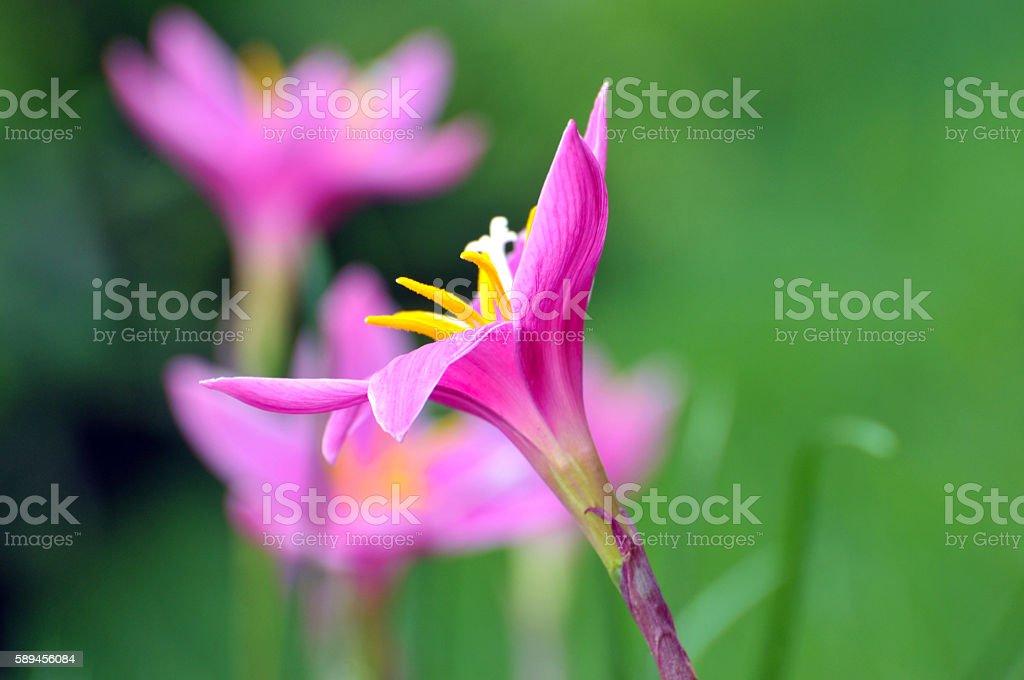 Pink crocuses stock photo