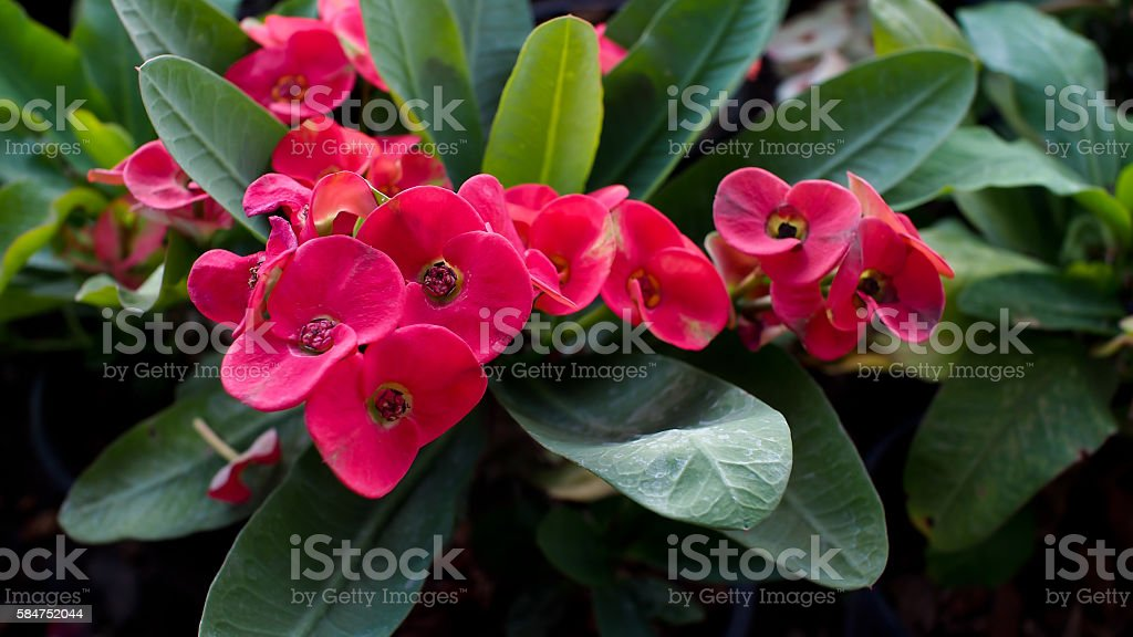 Pink Crown of Thorn Flowers stock photo