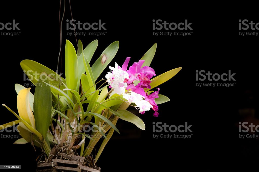 Pink cultivated orchid isolated over black background. stock photo