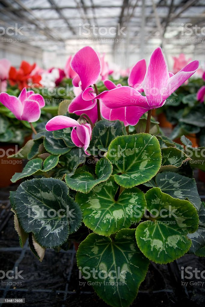 Pink Cyclamen Flowers in a Greenhouse royalty-free stock photo