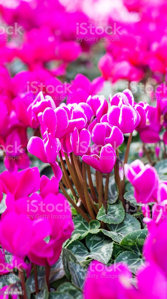 Pink cyclamen flowers in the garden. stock photo