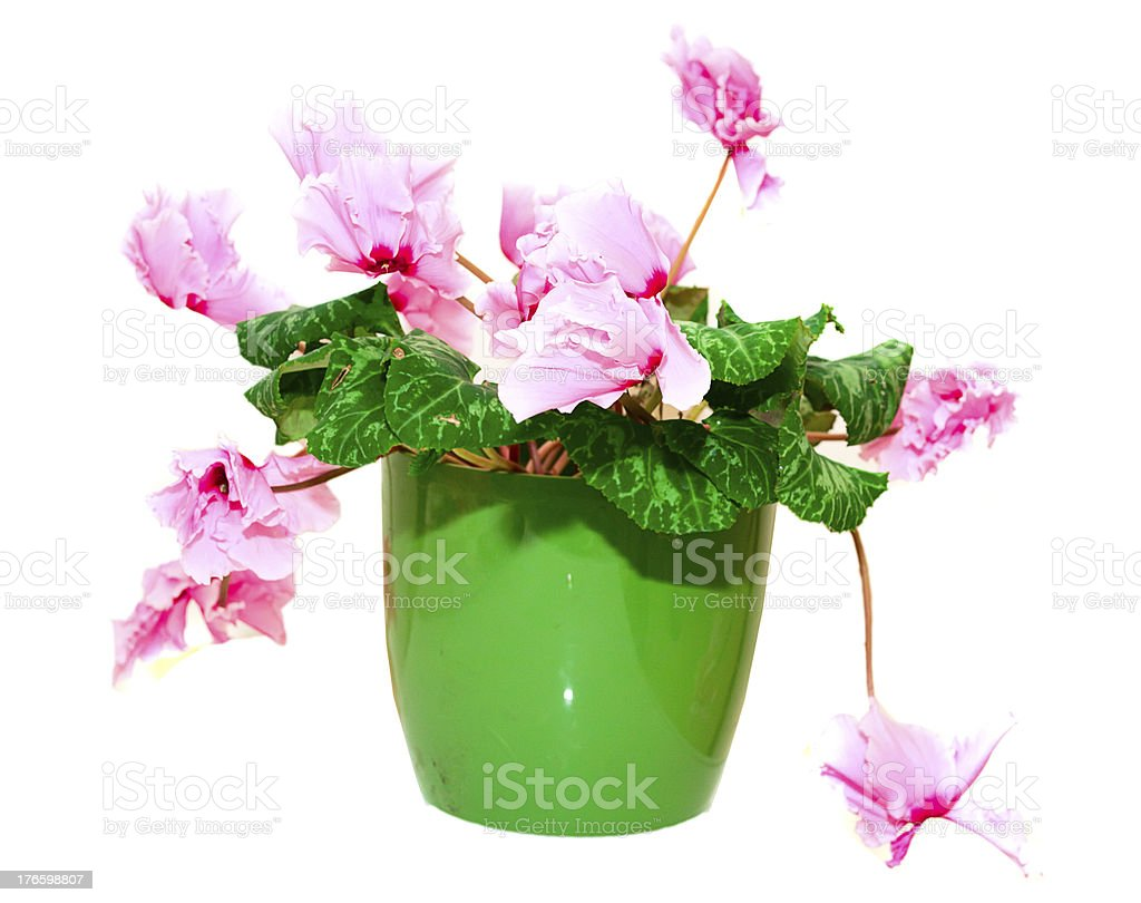 Pink cyclamen in a green pot royalty-free stock photo
