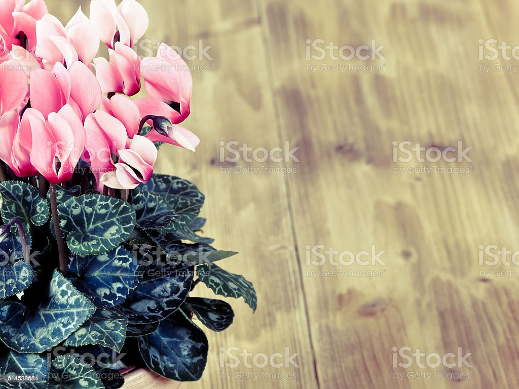 Pink cyclamen in flowerpot stock photo