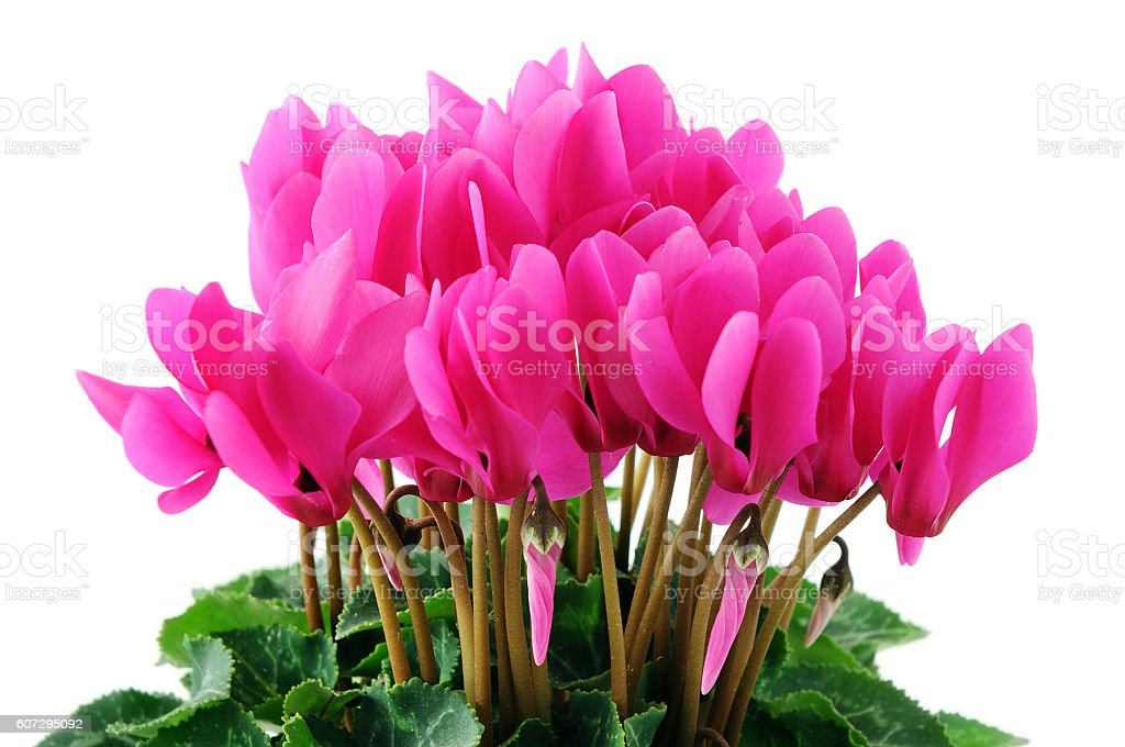 pink cyclamen on white isolated background stock photo