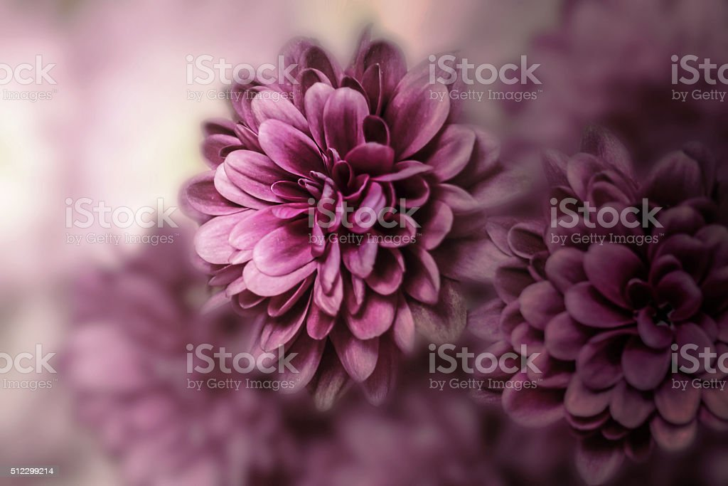 Pink Dahlia Close up stock photo