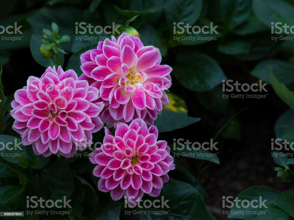 Pink Dahlia Figaro flower in garden stock photo