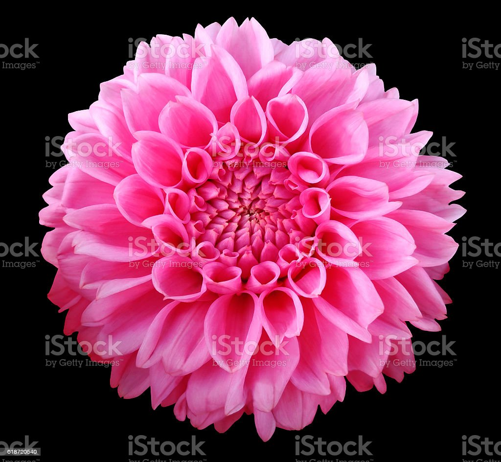 Pink Dahlia  flower, black  background isolated  with clipping path.  Closeup. stock photo