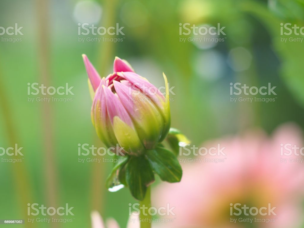 Pink Dahlia flower bud macro photo in summer garden, soft focus stock photo