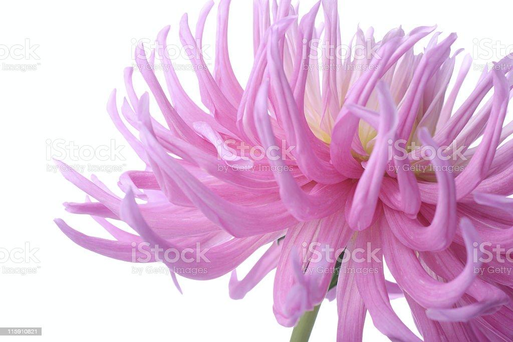 pink dahlia royalty-free stock photo
