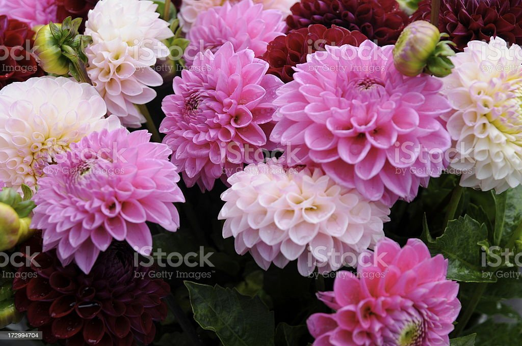 pink dahlia series royalty-free stock photo