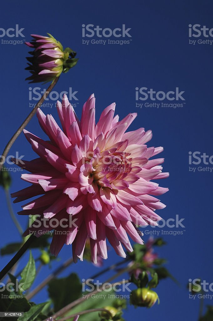 pink dahlia with blue sky royalty-free stock photo