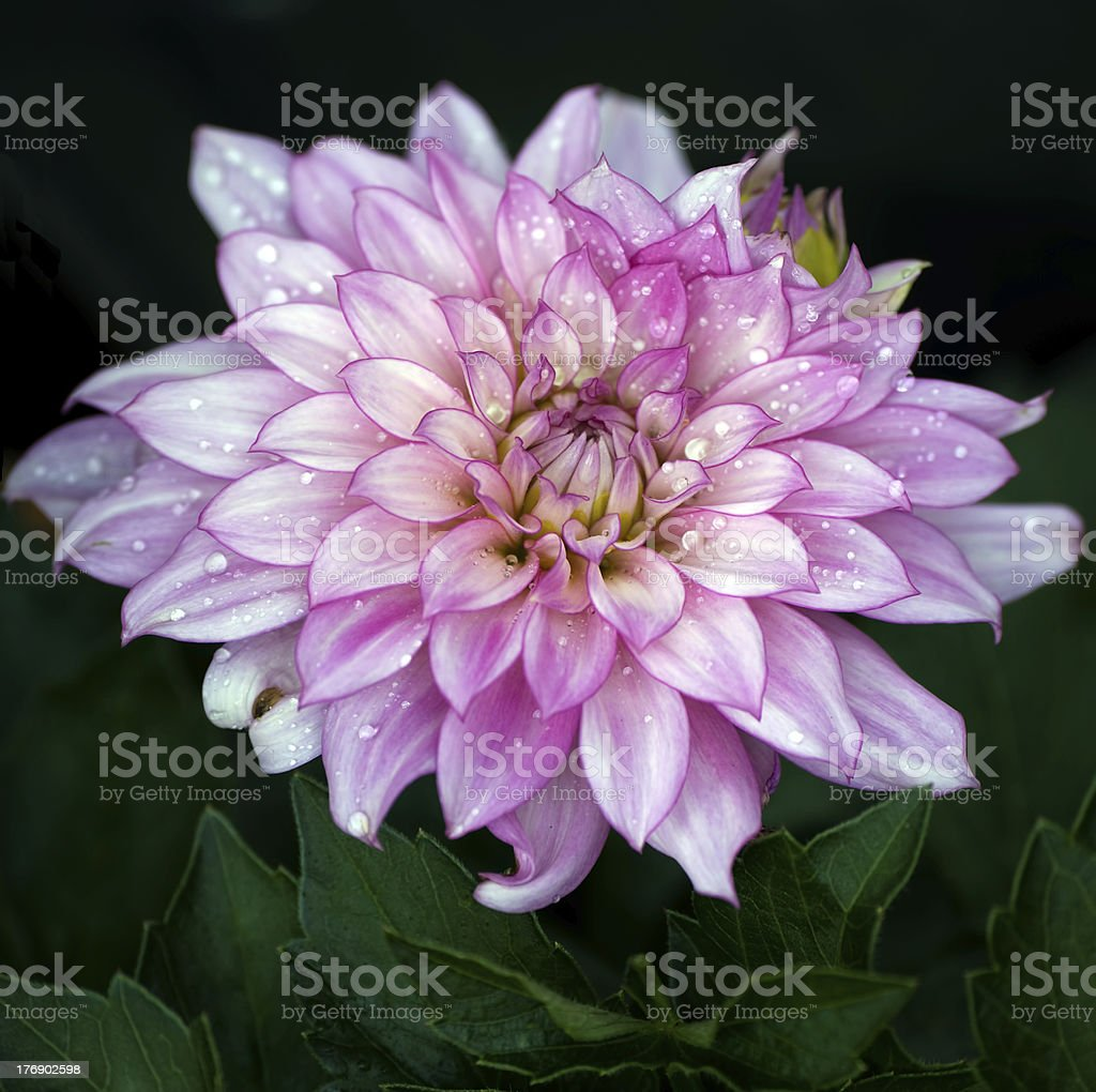 Pink Dahlia with water droplets royalty-free stock photo