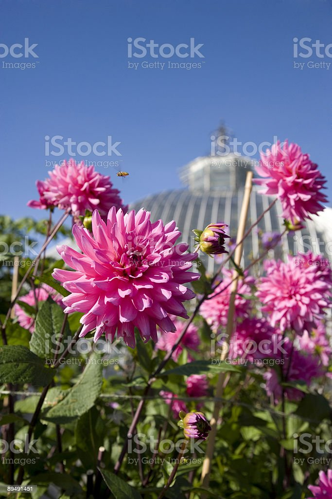 Pink dahlias in flowerbed royalty-free stock photo