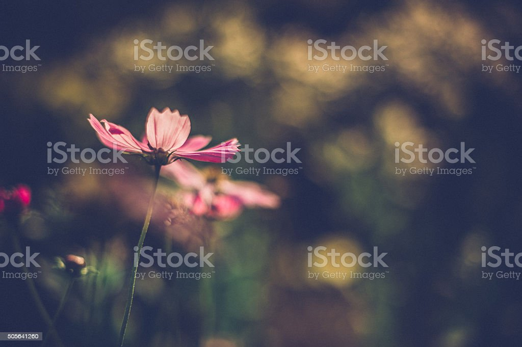 pink daisies against sun stock photo