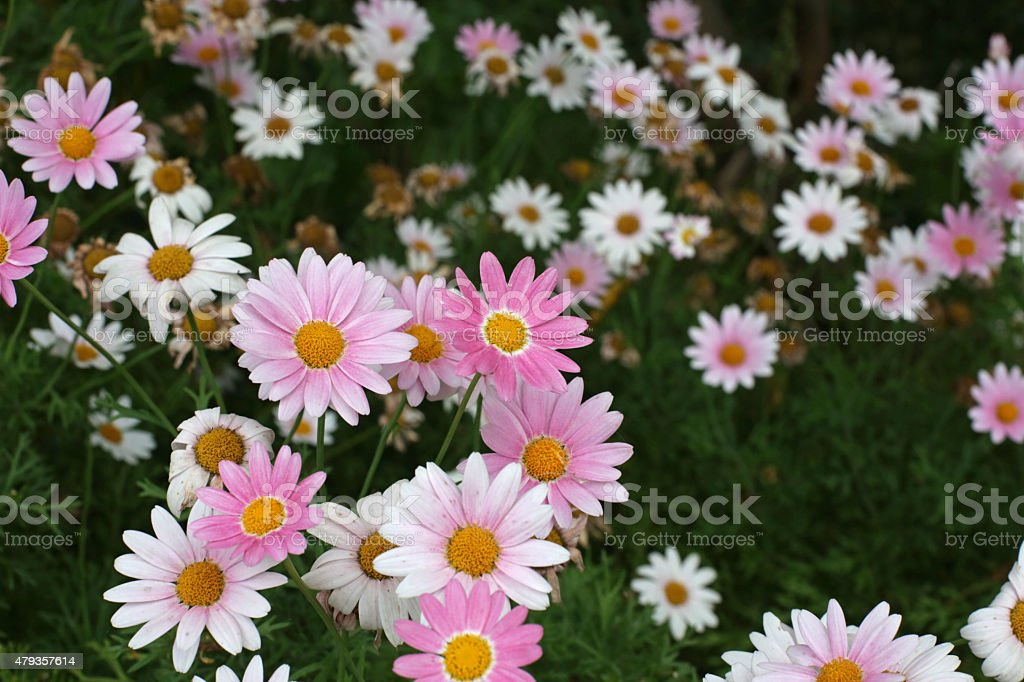 Pink Daisies, Asteraceae Family, in Tokushima Prefecture, Shikoku, Japan stock photo